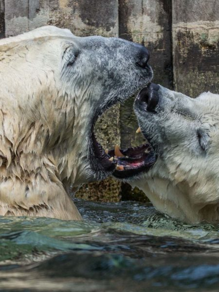 Medvědi v Pražské Zoo